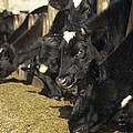 Cows by David Aubrey