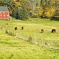 Cows Grazing On Grass In Farm Field Fall Maine by Keith Webber Jr