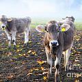 Cows by Mats Silvan