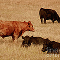 Cows by Methune Hively
