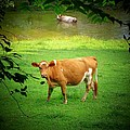Cows by Michael L Kimble