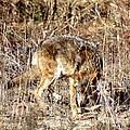 Coyote - American Prairie Wolf by Jack R Brock