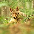 Coyote Caught Napping by Randall Branham