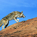 Coyote Climbs Mountain by Larry Allan