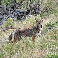 Coyote by David Arment