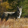 Coyote On A Fall Meadow by Mitch Shindelbower
