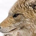 Coyote by Steve Stuller