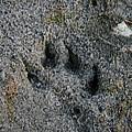 Coyote by Susan Herber