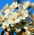 Crab Apple Blossom Macro 001 by Lance Vaughn