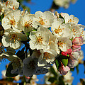 Crab Apple Blossom Macro 002 by Lance Vaughn