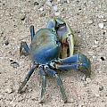 Crab by Tilen Hrovatic