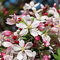 Crabapple Tree Flower by Eva Kaufman