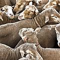 Crammed Sheep by Stephen Mitchell