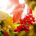 Cranberry Bliss by Matt Dobson