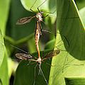 Crane Flies Mating by Doris Potter