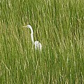 Crane In The Tall Grass On Assateague Island Maryland by Sven Migot