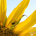 Crawling Along The Sunflower by Darleen Stry