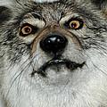 Crazy Like A Fox by LeeAnn McLaneGoetz McLaneGoetzStudioLLCcom