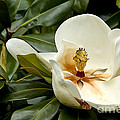 Creamy Magnolia by Teresa Zieba