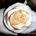Creamy Rose I by Alys Caviness-Gober
