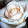 Creamy Rose IIi by Alys Caviness-Gober