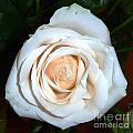 Creamy Rose Iv by Alys Caviness-Gober