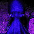 Creatures Of The Deep - The Octopus - V4 - Blue by Wingsdomain Art and Photography