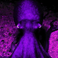 Creatures Of The Deep - The Octopus - V4 - Purple by Wingsdomain Art and Photography