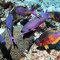 Creole Wrasse At A Cleaning Station by Georgette Douwma