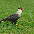 Crested Caracara by Tony Beck
