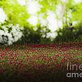 Crimson Clover by Kim Henderson