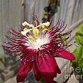 Crimson Passion Flower by Jane Whyte