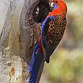 Crimson Rosella by Brian Gunter
