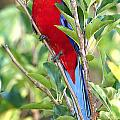 Crimson Rosella Perched by Paul Svensen