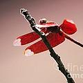 Crimson Wings At Dusk by Nola Lee Kelsey