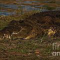 Croc by Mareko Marciniak