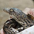 Crocodile And Alligator Breeding Farm  by Shay Levy