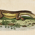 Crocodile by Granger