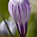 Crocus Blossom by Heiko Koehrer-Wagner