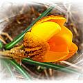 Crocus Gold Two by Joyce Dickens