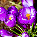 Crocus by Pati Photography