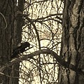 Crow In Thought by Tracy Fallstrom