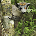 Crowned Lemur Eulemur Coronatus Female by Thomas Marent