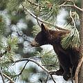 Cub In Tree by Ernie Echols