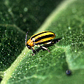 Cucumber Beetle by Science Source