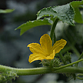 Cucumber Flower by Ernie Echols