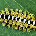 Cup Moth Limacodidae Caterpillar On Leaf by Ingo Arndt
