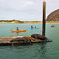 Curious About Sea Lions by Heidi Smith
