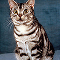 Curious American Shorthair by Larry Allan