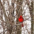 Curious Cardinal by Jane Coenen